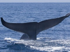 blue-whale-facts-2